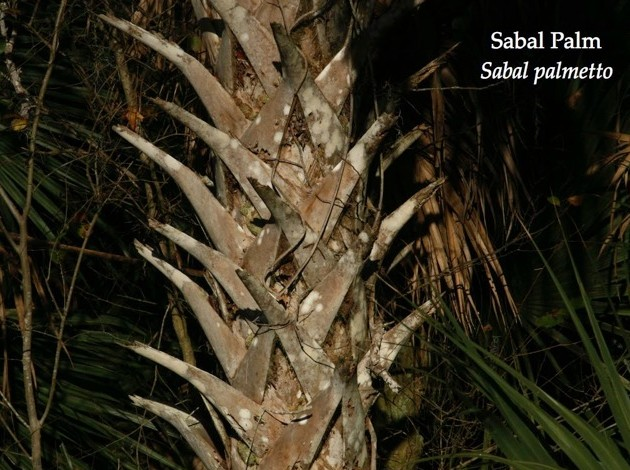 """Boots"" on a sabal palm (photo by Chuck Tague)"