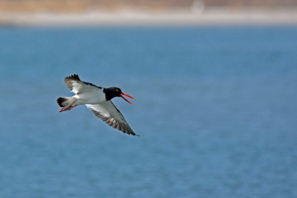American oystercatcher (photo by Anthony Bruno)