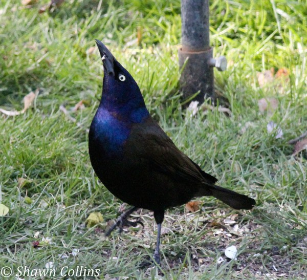 Common grackle in his dominance pose (photo by Shawn Collins)