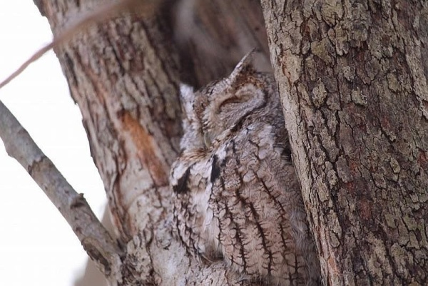 Eastern screech-owl, Schenley Park (photo by Benjamin Haake)