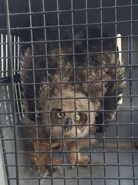 Great horned owl fledgling rescued at Schenley Park by PGC, 29 March 2016 (photo by Kevin Wilford)