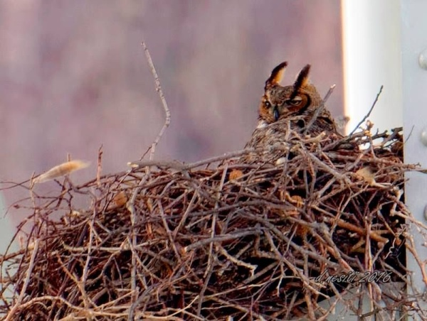 Great horned owl on nest under the Homestead Grays Bridge, 30 March 2016 (photo by Dana Nesiti)