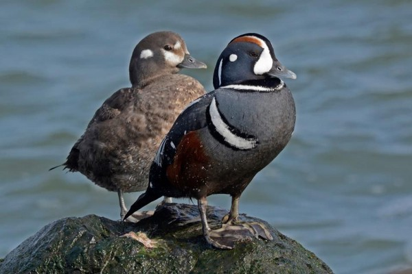Harlequin ducks at Barnegat Light (photo by Anthony Bruno)