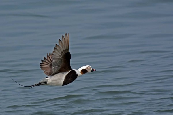 Long-tailed duck in 16 March 2016, New Jersey (photo by Anthony Bruno)