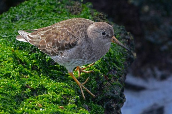 Purple Sandpiper at the jetty (photo by Anthony Bruno)