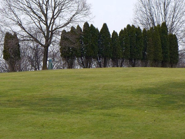 Arborvitae eaten to the browse line, Schenley Park Golf Course (photo by Kate St. John)