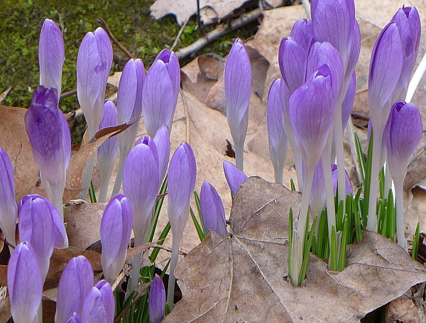 Crocuses blooming (photo by Kate St. John)