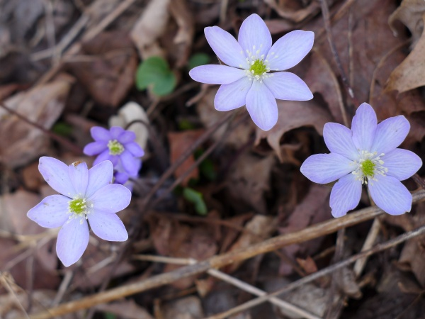 Sharp-lobed hepatica, Cedar Creek Park, 27 March 2016 (photo by Kate St. John)
