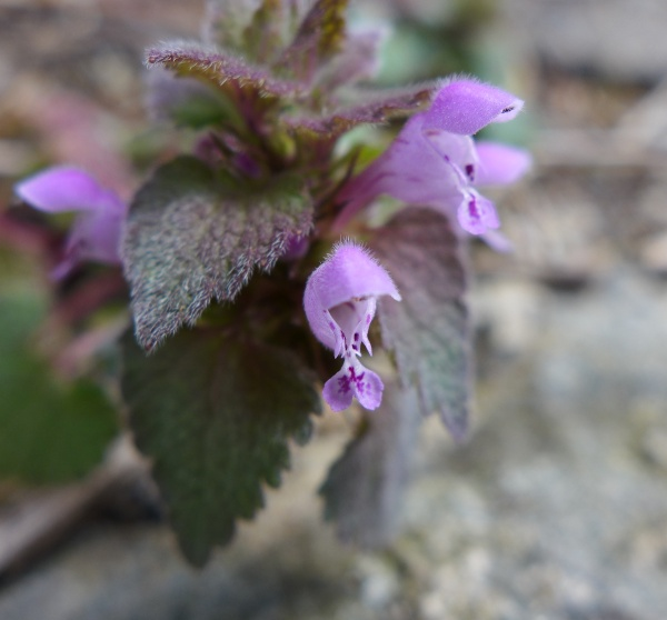 Purple deadnettle blooming, Schenley Park 18 and 24 March 2016 (photo by Kate St. John)