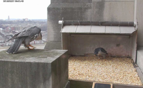 Dori arrives to join Louie in courtship at the Gulf Tower nest (photo from National Aviary falconcam at Gulf Tower)