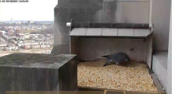 Dori walks over to the other side ... (photo from the National Aviary falconcam at Gulf Tower)