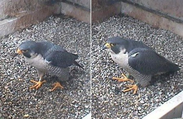 E2 and Hope: side-by-side comparison (photos from the National Aviary falconcam at Univ. of Pittsburgh)