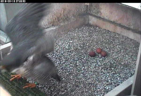 Hope leaving the nest and 3 eggs at dawn, 18 March 2016 (photo from the National Aviary falconcam at Univ of Pittsburgh)