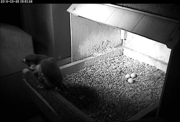 Hope perches at the front of the nest, pre-dawn, Fri 25 March 2016 (photo from the National Aviary snapshot camera at Univ.of Pittsburgh)