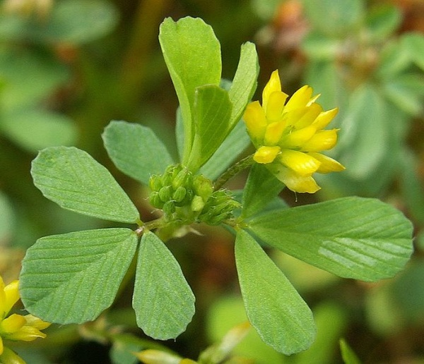 Lesser or Least Hop Clover, Trifolium dubium (photo from Wikimedia Commons)