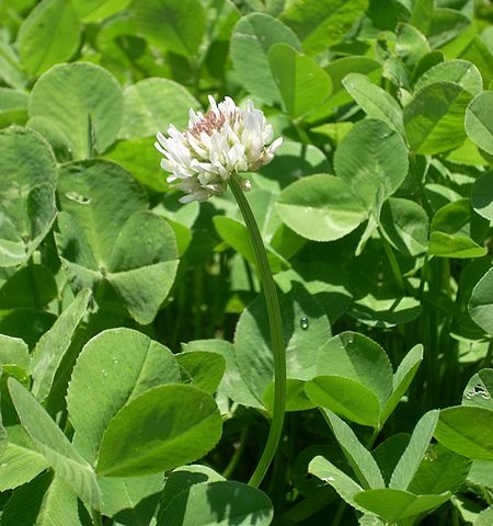 White clover, Trifolium repens (photo from Wikimedia Commons)