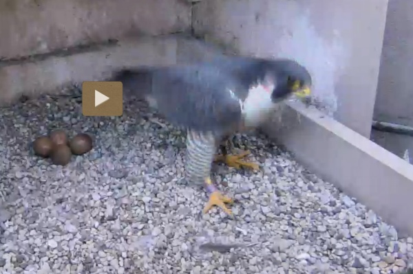 Adult female intruder, 23 April 2016 (photo from the National Aviary falconcam at Univ of Pittsburgh)