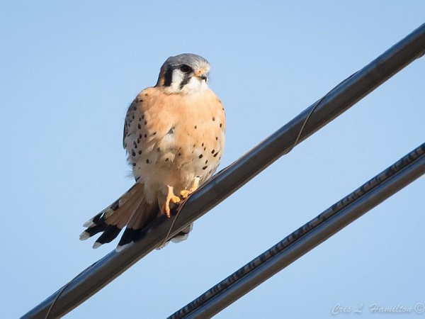 Male American kestrel (photo by Cris Hamilton)