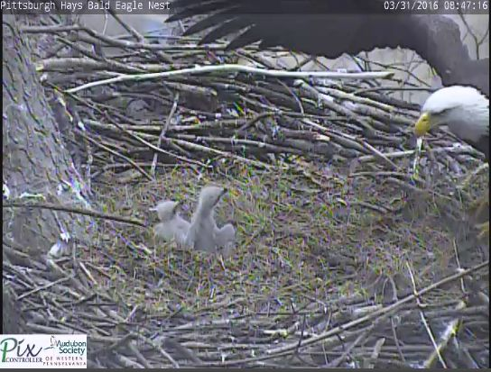 Two nestlings watch as parent bald eagle returns to the Hays nest (photo from Hays eaglecam)