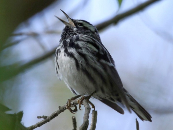 Black and white warbler, singing (photo by Chuck Tague)
