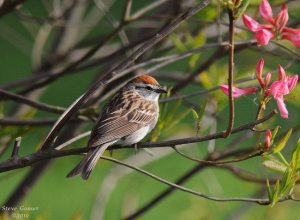 Chipping sparrow in May (photo by Steve Gosser)