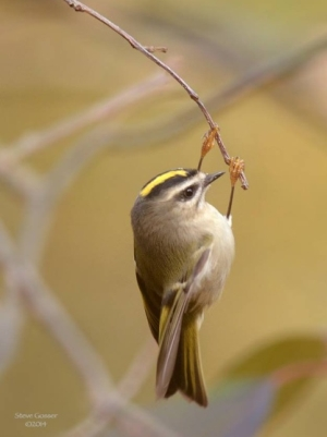 Golden-crowned kinglet (photo by Steve Gosser)