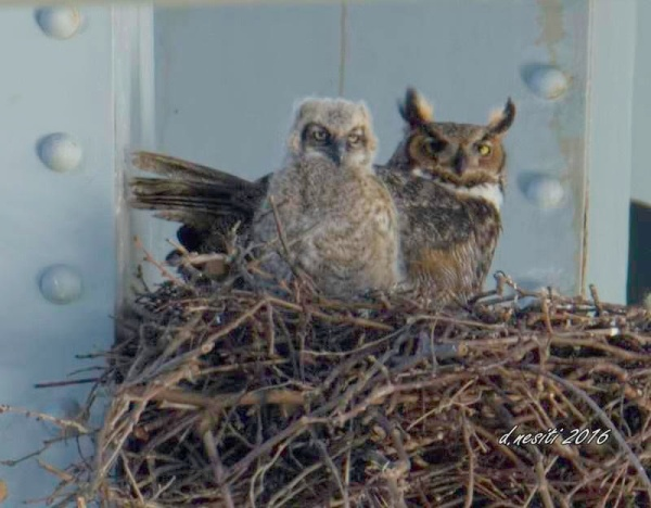 Great horned owl and owlet, Homestead Grays Bridge, 15 April 2016 (photo by Dana Nesiti)