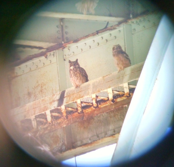 Great horned owl adult and one owlet, 2 Apr 2016, Anderson Bridge, Schenley Park (photo by Kate St. John)