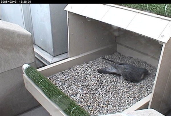 "Peregrine digging nest ""scrape"" in nest box at Cathedral of Learning"