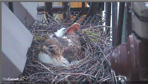 Ezra the red-tailed hawk incubates three eggs at Cornell (screenshot from nestcam at Cornell Lab)