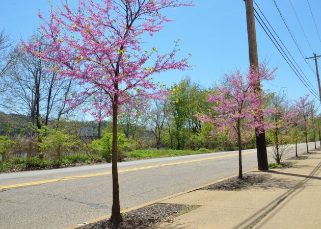 Redbud trees along River Road, Pittsburgh, April 2016 (photo courtesy Western PA Conservancy)