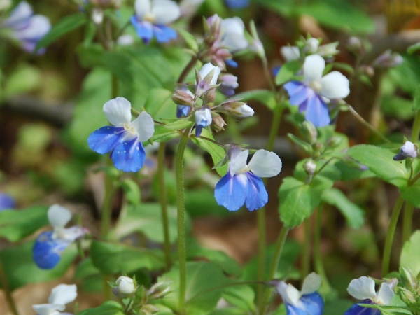 Blue-eyed Mary blooming at Cedar Creek Park, 6 April 2016 (photo by Donna Foyle)