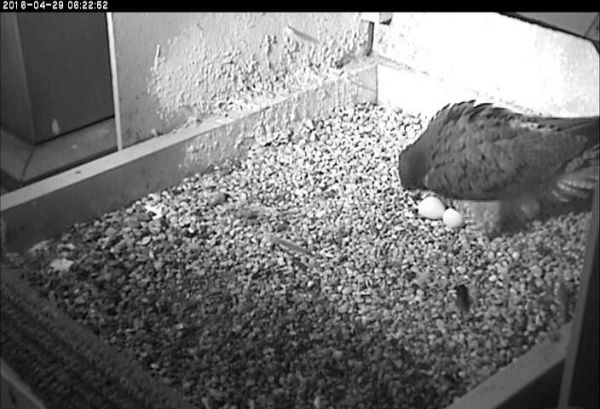 Hope moves hatching egg back to the clutch (photo from National Aviary falconcamat Univ of Pittsburgh)