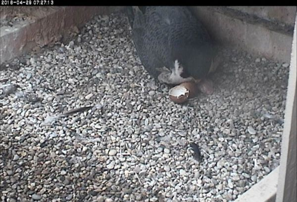 Terzo with first chick and eggshell, 29 April 2016 (photo from the National Aviary falconcam at Univ of Pittsburgh)