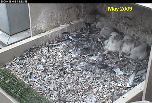 Nestlings in 2009 (photo from National Aviary falconcam at Univ of Pittsburgh)
