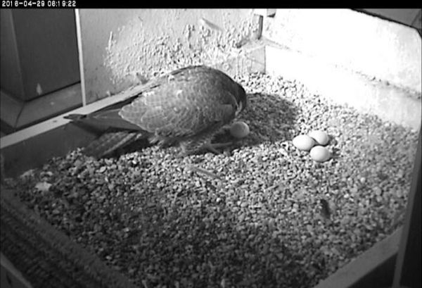 Hope pulls the about-to-hatch egg away from the other three (photo from the National Aviary falconcam at Univ of Pittsburgh)