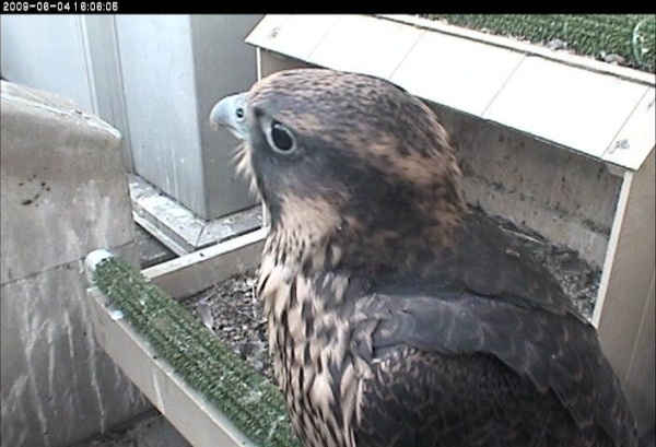 The last nestling at Pitt in 2009, just before she fledged, 4 June 2009 (photo from the National Aviary falconcam at Univ of Pittsburgh)