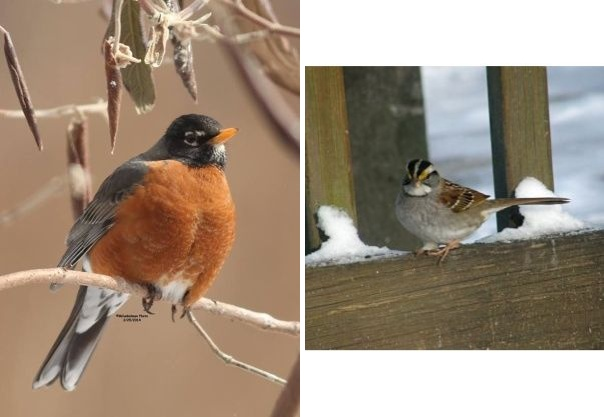 American robin, white-throated sparrow (photos by Marcy Cunkelman)