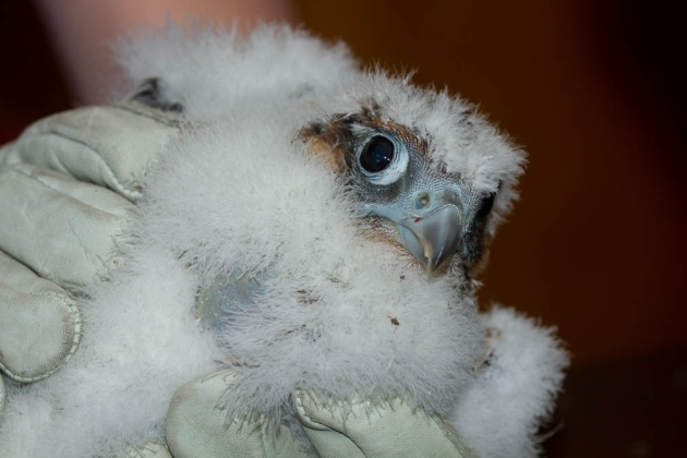 A closeup of female peregrine chick C1 from the Cathedral of Learning nest (photo by Peter Bell)