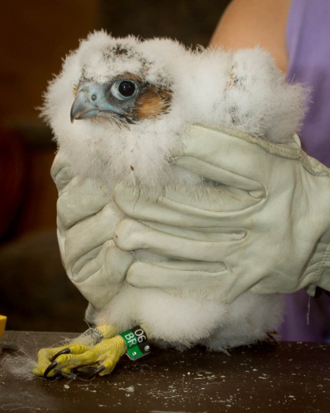 Peregrine chick, C1, with her new color bands, Black/green, 06/BR (photo by Peter Bell)