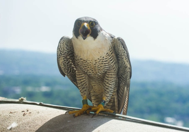 Female peregrine falcon, Hope shouts at the banders! Banding Day 2016, Cathedral of Learning (photo by Peter Bell)