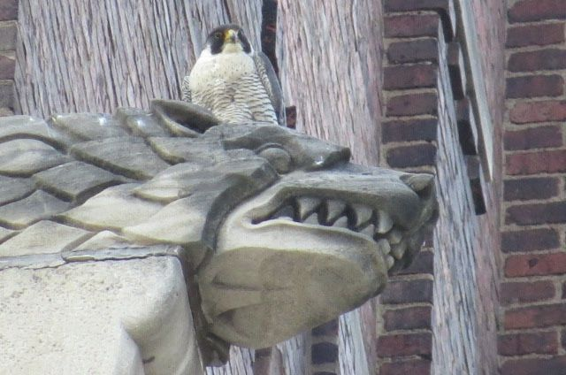 Dori on a gargoyle at Point Park's Lawrence Hall (photo by Lori Maggio)