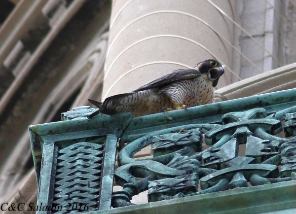 Peregrine falcon vocalizing at St. Ignatious (photo by Chad+Chris Saladin)