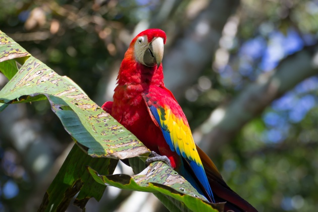 Scarlet macaw (photo by Alejandro Morales courtesy PBS NATURE)
