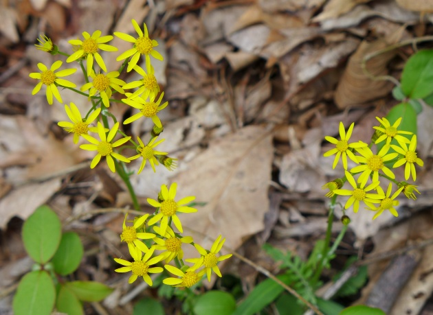 Golden ragwort (photo by Kate St. John)