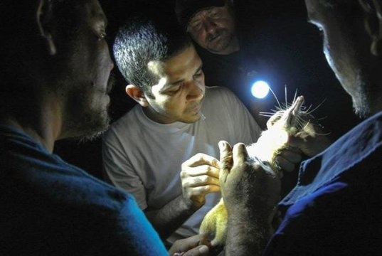 ZooDom veterinarian Adrell Nunez (center) draws blood from a solenodon for DNA samples, Dominican Republic (photo by Taras Oleksyk and Yashira Afanador)