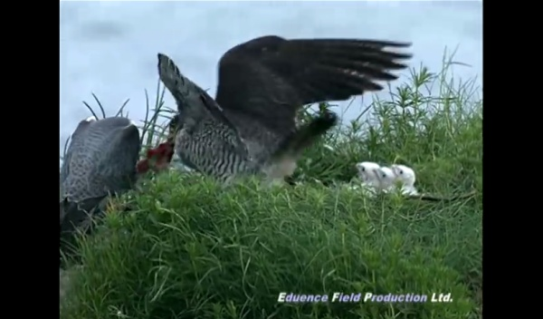 Feeding time for peregrine chicks in Hokkaido, Japan. (screenshot from Eduence Field Productions Ltd)