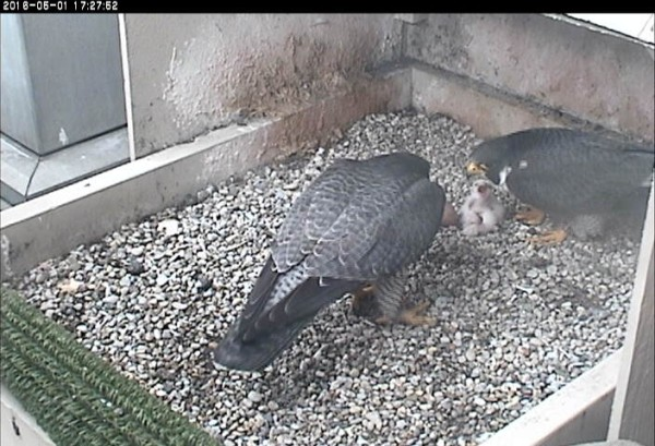 Hope and Terzo with 2 chicks, 1 May 2016 (photo from the National Aviary falconcam at Univ of Pittsburgh)