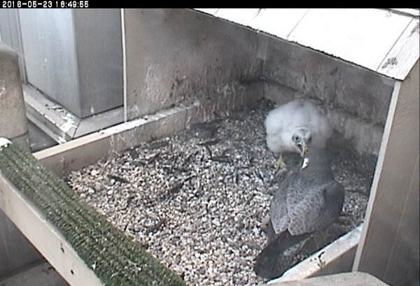 C1 shouts at his father Terzo (photo from the National Aviary falconcam at Univ of Pittsburgh)