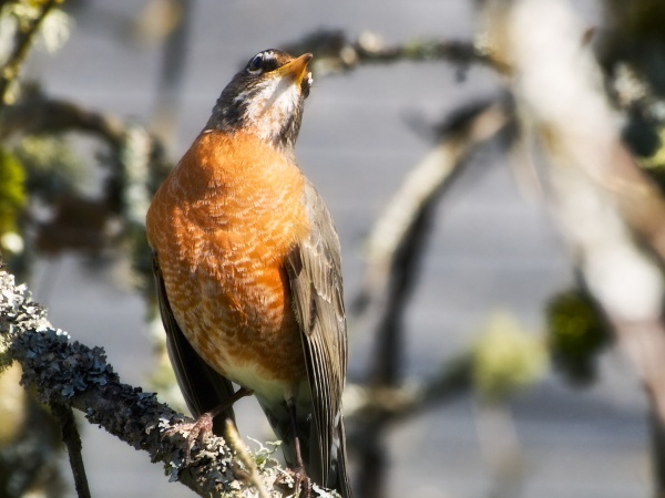 American robin, skygazing (photo by Joel Kluger, Creative Commons license via Flickr)